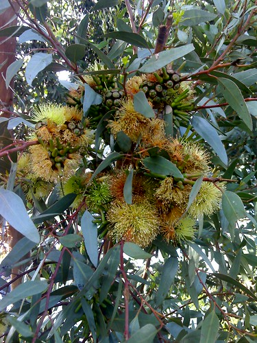 Gumtree blossoms on a cool wet morning
