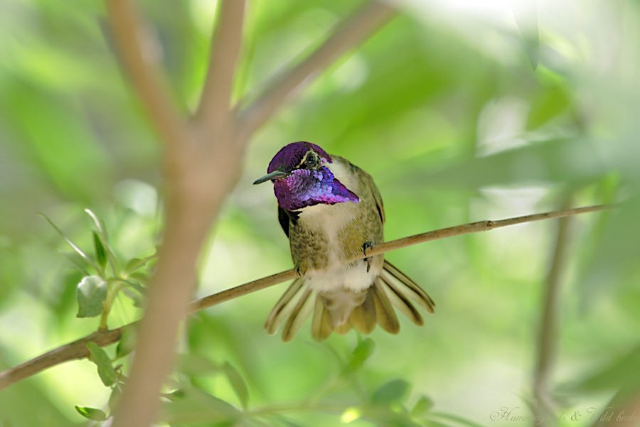 Costa's Hummingbird 05092