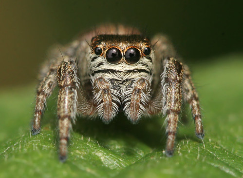 フリー写真素材, 動物, 陸上生物(その他), 蜘蛛・クモ, ハエトリグモ,