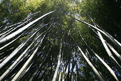 Looking up at the bamboo forest (Shropshire Bogtrotter) Tags: forest bamboo labambouseraie