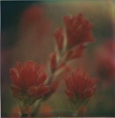 6 - Indian Paintbrush (Polaroid Joe) Tags: california plant flower beach nature up square lens polaroid lost outside sx70 coast close instant mendocino 70 poloroid polariod sx polroid