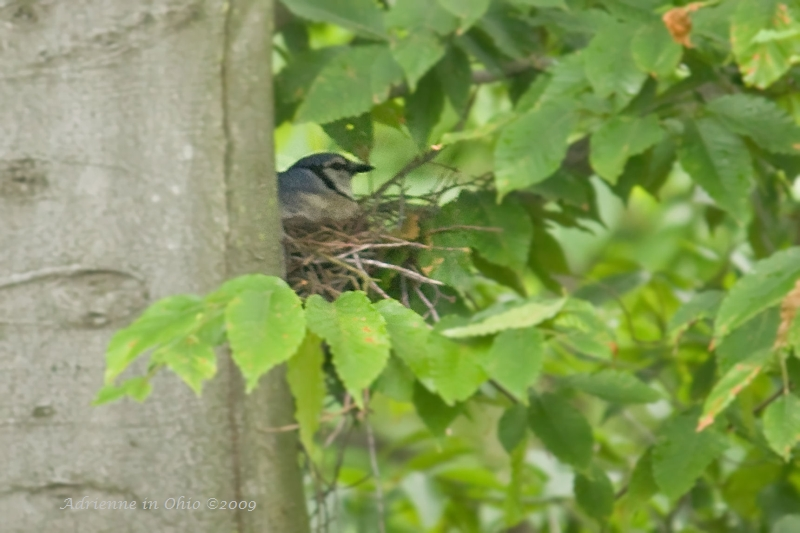 blue jay mom sitting on nest - photo by Adrienne in Ohio