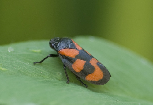 The rather attractive Cercopis vulnerata