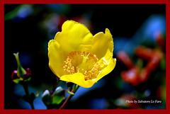I colori della Natura.  199 (Salvatore Lo Faro) Tags: flower macro nature yellow nikon milano giallo fiore nikond40x