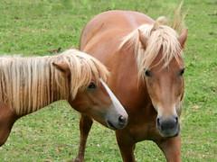 listen... (oriana.italy) Tags: horses italy horse nature closeup over x lombardia varese worldbest img5870 ranciovalcuvia dragongoldaward cherryontopphotography orianaitaly canonefs18x55mm