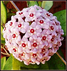 Flor de nacar