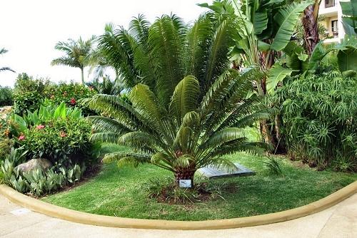 Cycas circinalis (rq) - 01