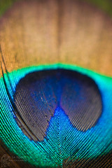 peacock feather (Jooliree) Tags: blue color colour macro green yellow closeup bronze gold feather peacock week49 7daysofshooting texturedtuesday wildlycolourful