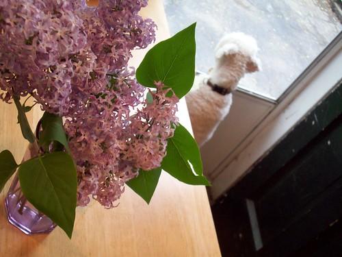 lilac + dog at door