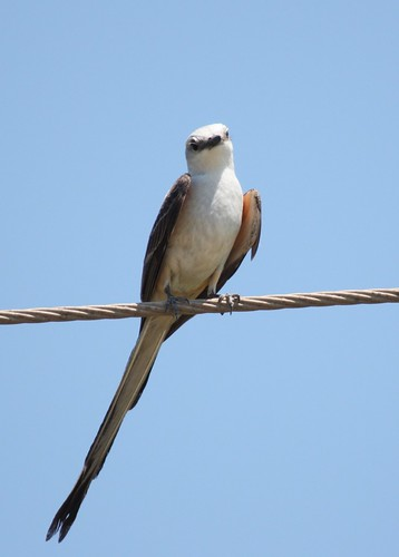 Scissor-tailed Flycatcher - 5/29/2009