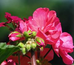 ~~ H. B. W. ~~ (Brenda Boisvert .) Tags: pink flower macro bokeh mygarden geranium hbw exploreflowers brendamb mamasbloomers øutstandingimages ♥fortheloveofphotography♥ ❤♫♪♪paulsplace♫♪♪❤