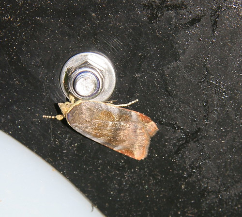 Least Broad-bordered Yellow Underwing (Noctua janthe)