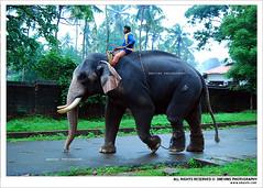 I Love Thrissur (Smevin Paul - Thrisookaran !! www.smevin.com) Tags: india elephant green season walking paul photography nikon photos kerala thrissur malayalam tusker rainly parambu smevin poora d40x maidanam malayalikkoottam koottam smevins kootam malayalikottam thekinkadu