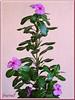 Catharanthus roseus (Madagascar Periwinkle, Cape Periwinkle, Rose/Rosy Periwinkle, Periwinkle, Vinca)
