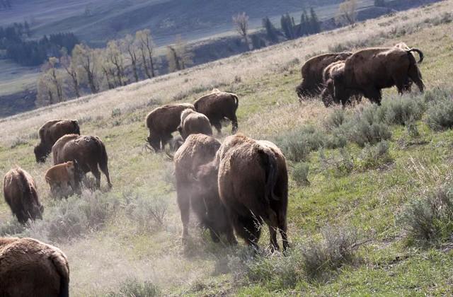 Buffalo Scuffle