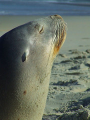 Sealion Profile
