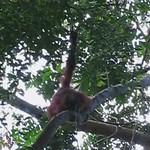 wild Orang Utans in Gunung Leuser National Park, Sumatra [video] (incomplete) thumbnail