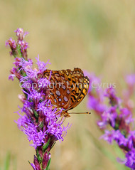 Fritillary (Lynn photographing the world) Tags: flower butterfly insect v wildflower fritillary