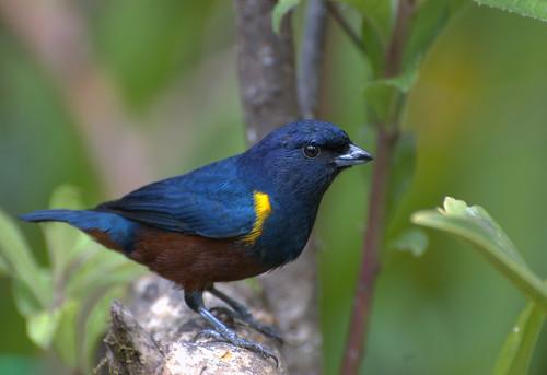 フリー画像| 動物写真| 鳥類| 野鳥| クリハラスミレフウキンチョウ|       フリー素材|