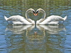 Head to Head (littlebiddle) Tags: nature birds photoshop washington swan wildlife sony aves yakima fowlfeatheredfriends