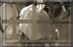 ~~~ Peeking in a window ~~ (brendamb - Brenda) Tags: tulipinvase totallyps brendamb frameit utstandingimages