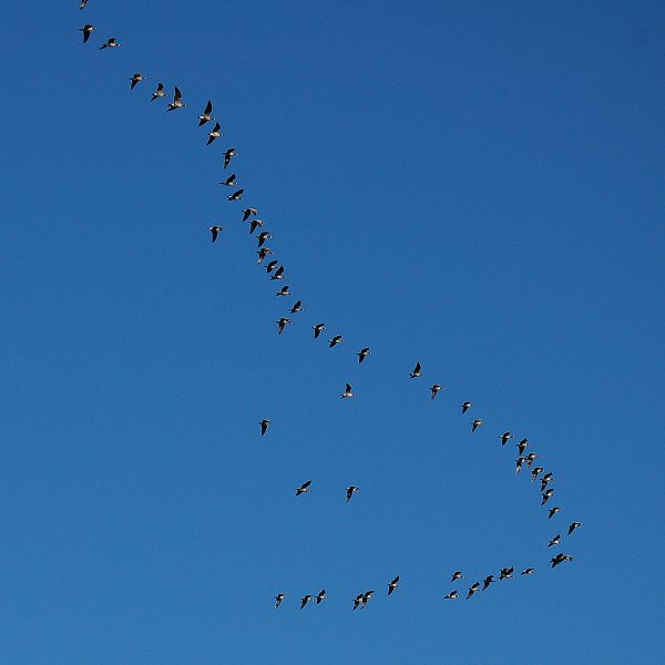 DSC_0128_geese_in_flight_600x600
