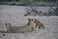 Lioness and two babies