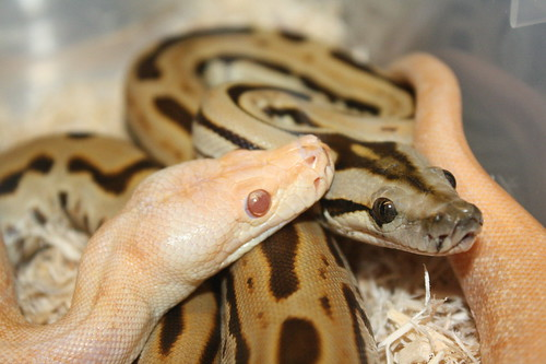 labyrinth burmese python