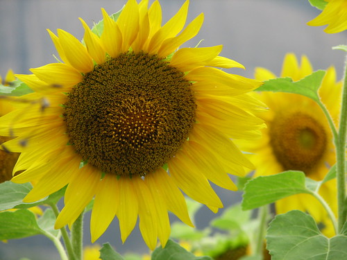 Beautiful sunflowers on the way