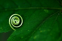 twirl (sunshadows) Tags: macro green nature garden watch explosion twirl swirl veins passiflora joesplace naturesfinest passionvine mainspring allrightsreserved watermist omot october2009 conniesgarden newgoldenseal