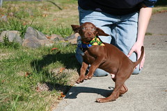 Cause he is the Dancing Queen (Palmer Digital Studio) Tags: dog pet baby brown home halloween puppy toy mix day dancing chocolate tag first vizsla canine queen weimaraner german chew bandana pooch abba hungarian