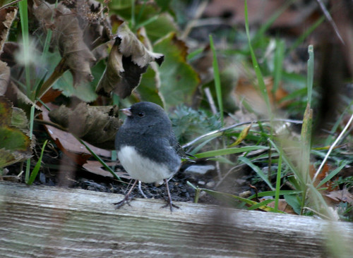 A junco in the garden