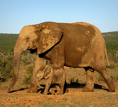 Taking Baby for a Walk (Sandra Leidholdt) Tags: wild nature animals southafrica addo babies african wildlife mother safari explore afrika bebe elephants motherhood za elephantwalk africanelephants babyelephant sudafrica babyanimals elefantes  motherlylove loxodontaafricana afriquedusud lafrique zuidafrika explored sandraleidholdt wildelephants surfrica leidholdt sandyleidholdt