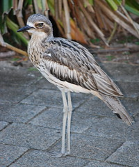 Bush Stone Curlew (tkmckinn) Tags: birds australia july09