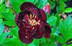 Peony in the rain (Bob Gundersen) Tags: flowers usa yard garden outside photo interesting nikon flickr image shots connecticut shoreline picture newengland ct scenes gundersen guilford conn nikoncamera d5000 connecticutscenes nikond5000 bobgundersen robertgundersen