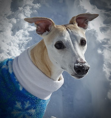 Snow Day (DiamondBonz) Tags: spanky snow whippet dog pet hound sweater handsome