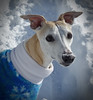 Snow Day (DiamondBonz) Tags: spanky snow whippet dog pet hound sweater handsome