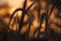 Entering the dream (gnarlydog) Tags: dreamy adaptedlens manualfocus refittedlens grass australia sunset rural meyeroptikdiaplan100mmf28 bokeh speckledhighlights vintagelens vintagelenseffect projectionlens warmlight backlit contrejour silhoutte controluce abstract surreal queensland