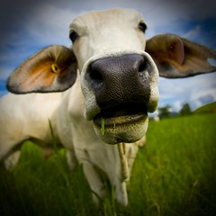 on the nose (ghee) Tags: portrait holiday animal canon cow cattle cows farm farming wide australia queensland 5d grazing daintree paddock ghee 24105l impressedbeauty daintreevillage tranquilityonthedaintree daintreevalley
