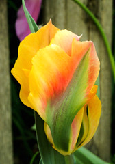 Parrot Tulip Golden Artist (digsinthedirt) Tags: pink flowers summer plants plant flower green nature beautiful bulb garden golden spring rainbow colorful pretty artist unique grow salmon parrot tulip bloom bulbs thumb bud blooms rare gardener perennial perennials greenthumb rhizome grower rhizomes hybridizer hybridize