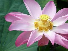 Bintan Island #3 - The Flowers of Bintan Island (Beautiful Lotus) (ighosts) Tags: pink flowers white nature indonesia whiteflower pond singapore waterlily lotus pinkflower waterplant naturesfinest bintanisland excellentsflowers vosplusbellesphotos thebestofmimamorsgroups
