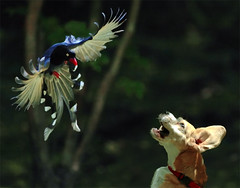 #449  Pup Fight Back (John&Fish) Tags: wild bird nature wow bravo taiwan best mywinners platinumphoto aplusphoto isawyoufirst diamondclassphotographer theunforgettablepictures theperfectphotographer 100commentgroup vosplusbellesphotos