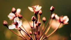 Firecrack (hardyc) Tags: park pink flower water pond stem bokeh annarbor sigma shoots firecracker