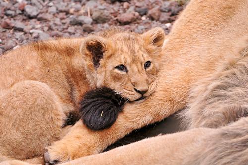 フリー画像| 動物写真| 哺乳類| ネコ科| ライオン| 親子/家族|      フリー素材|