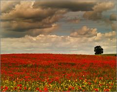 Uncle Hog's poppy field. (yamstar1) Tags: field landscape shropshire olympus poppies colourfull abigfave yamstar1