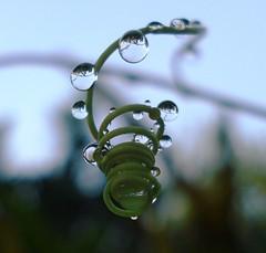 Orvalho (Jakza) Tags: gotas orvalhonatureza duetos waterdrops 52words around frenteafrente perpetual game beanstalk winnerschallenge