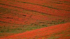 [フリー画像] [花/フラワー] [花畑] [芥子/ケシ] [赤色/レッド]       [フリー素材]