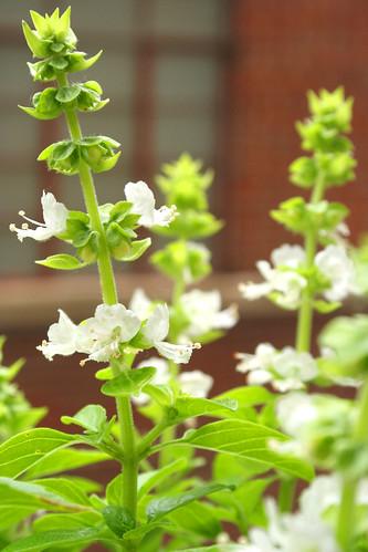 Basil Blossoms 2