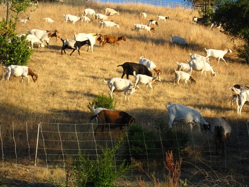 Goats are better than lawnmowers every time