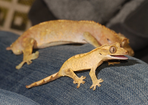 crested gecko tattoo images